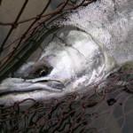 20130424_trout-prostaff_hirose-hiroyuki18957-02